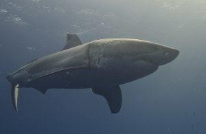"""Les """"Dents de la Mer"""" ont fait la réputation du grand requin blanc. Il est en effet l'une des espèces souvent impliquées dans les attaques sur des humains. Ici, un grand requin blanc photographié en Baja California (Mexique) par Elias Levy."""