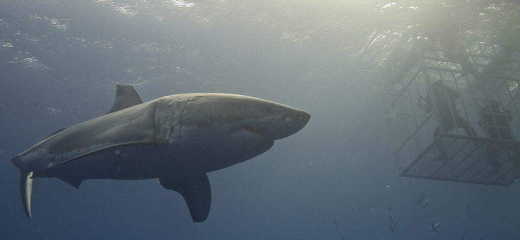 comment  u00e9tablir le  u0026quot taux d u0026 39 attaques u0026quot  de requins  u00e0 la r u00e9union