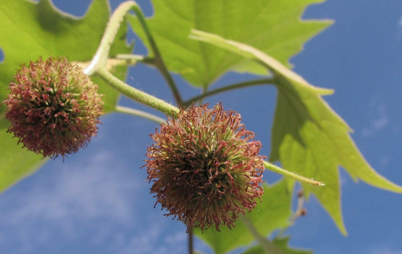 Si cette photo ne vous donne pas de boutons, c'est que vous n'êtes pas allergique aux platanes. Plus précisément aux poils de leurs fruits et de leurs feuilles, bien plus redoutables que leur pollen. (Photo Flickr/jacinta lluch valero)