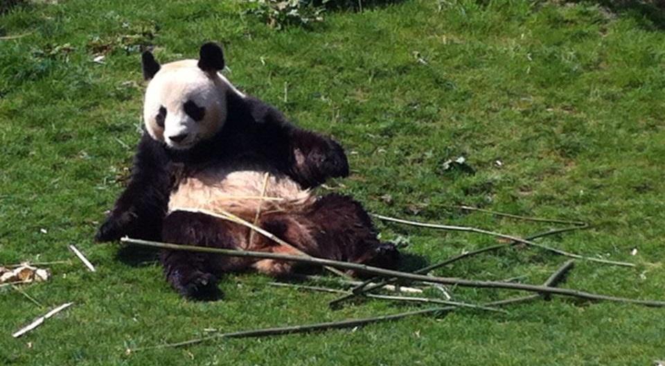 L'arrivée des pandas géants à Beauval en 2012 avait fait bondir la fréquentation du zooparc. En sera-t-il de même avec la naissance des bébés en 2017? (Photo: Marie Simon)