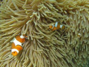 Petits poissons clowns et leur anémone-maison, croisés en Thaïlande